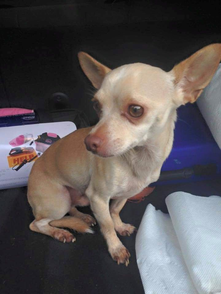 Found Dog Chihuahua Short Haired St. Augustine, FL