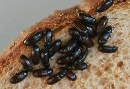 khasiat dari semut jepang vs diabetes