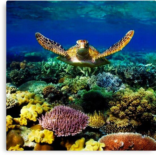 TURTLE SWIMMING IN THE CORAL SEA OCEAN PHOTOGRAPHY