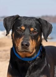 Lucy Lou Is An Adoptable Rottweiler Dog In Alexandria Va Lucy Is