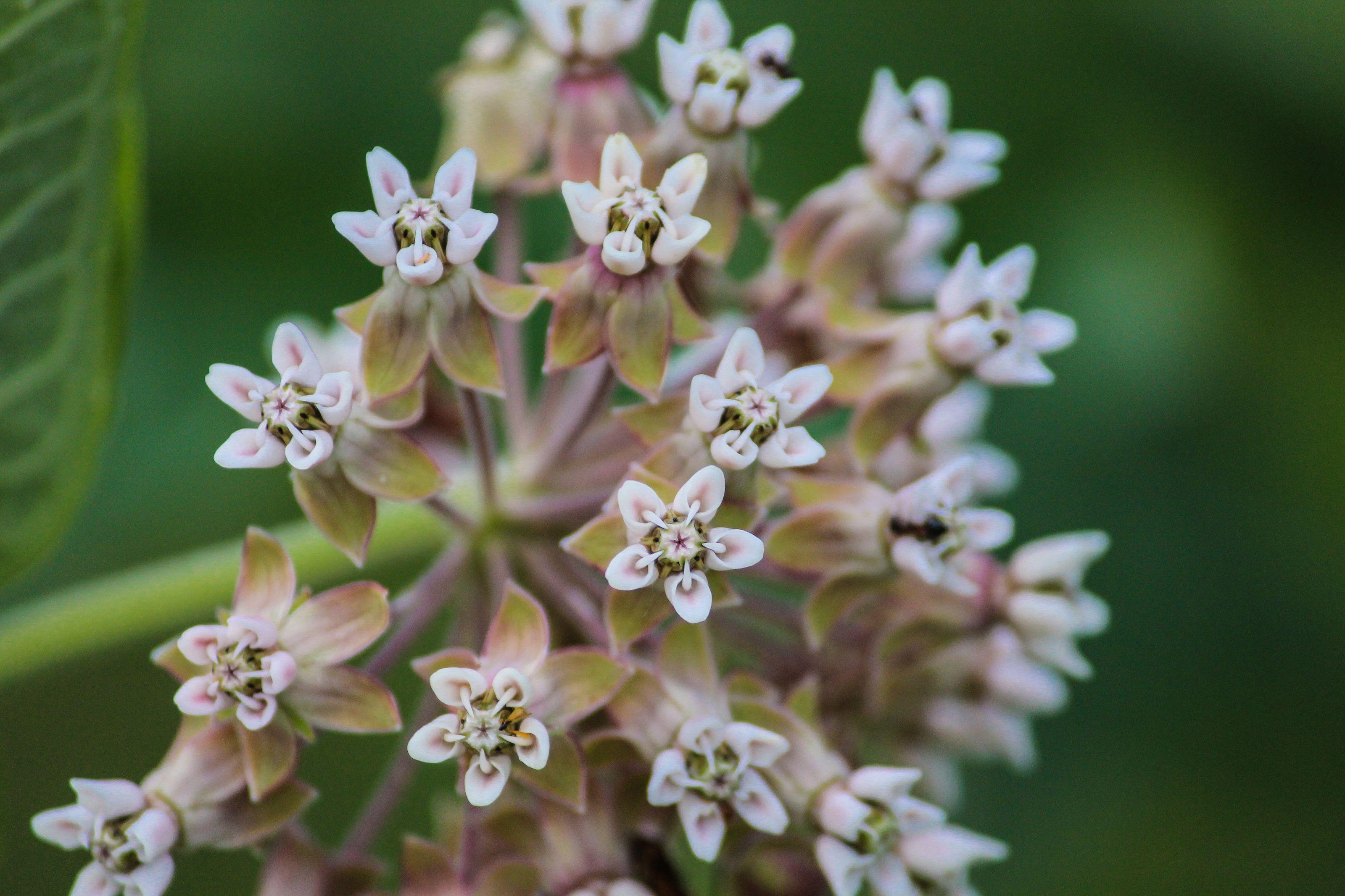"""Milkweed Blossoms"" by Pistos - Caedes Desktop Wallpaper"