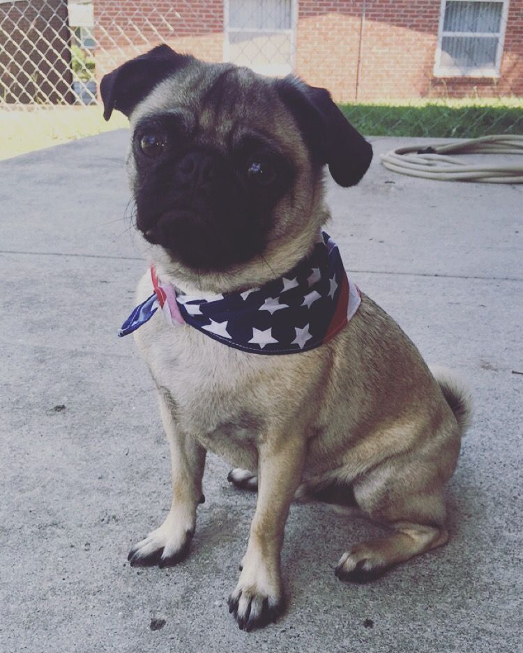 Happy Fourth Pug Ig Louie Rupert Puggg