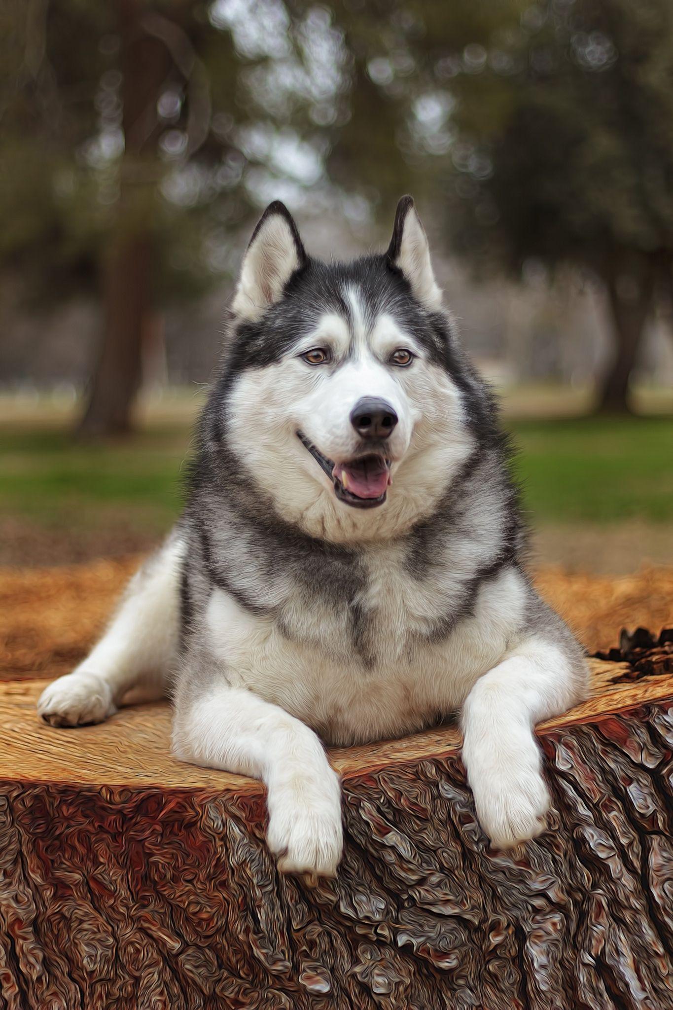 Pin De Grafhos Publicidad En Cats Dogs En 2020 Husky Siberiano