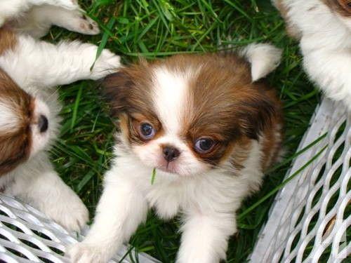 Akc Japanese Chin Puppies Japanese Chin Puppies Japanese Chin