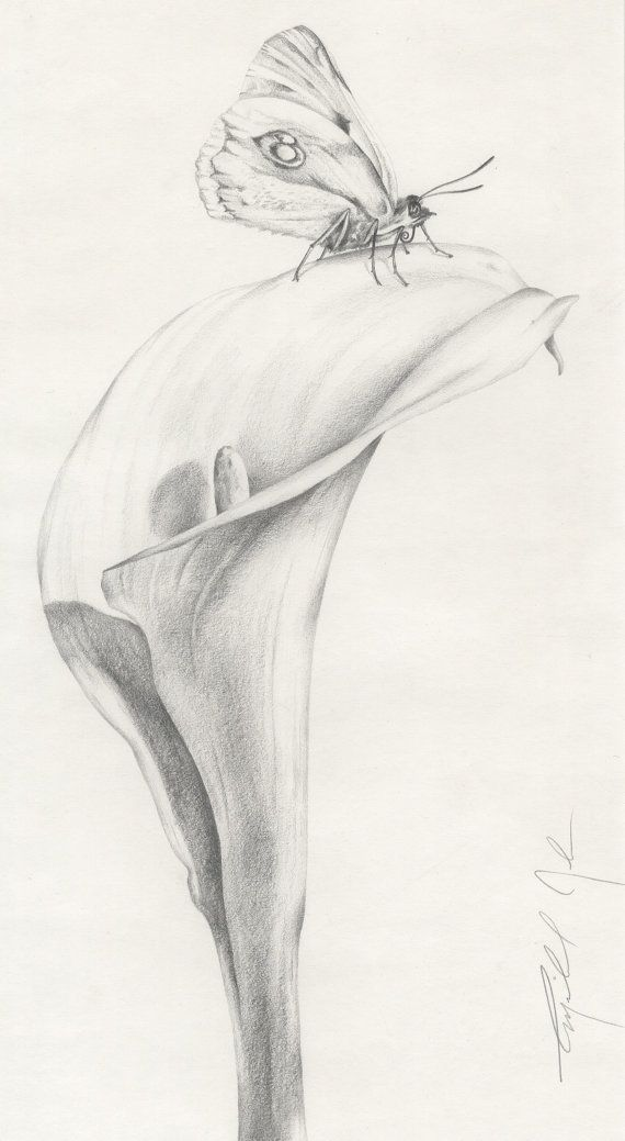 Calla Lily Butterfly Original Pencil Drawing Etsy Realistic Drawings Lilies Drawing Flower Drawing