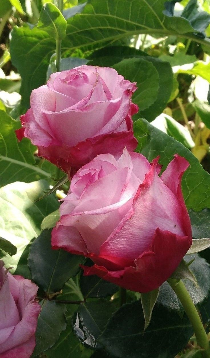 Pin by vicki marihugh speiser on a rose is a rose is a rose pin by vicki marihugh speiser on a rose is a rose is a rose pinterest flowers beautiful roses and beautiful flowers izmirmasajfo