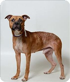 Columbus, OH Boxer Mix. Meet Brussel, a dog for adoption