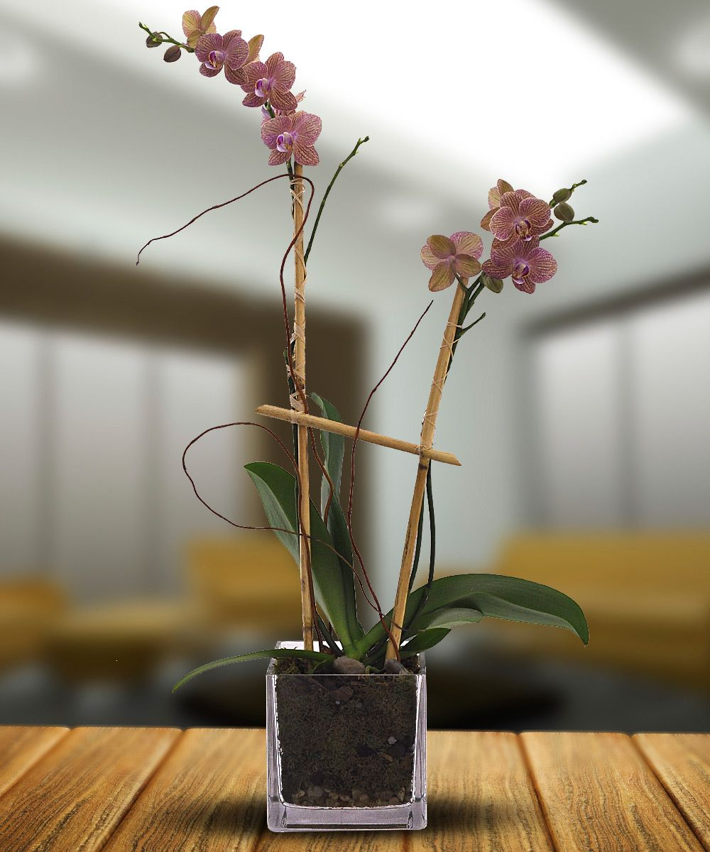 Double moms love this double stemmed deluxe phalaenopsis