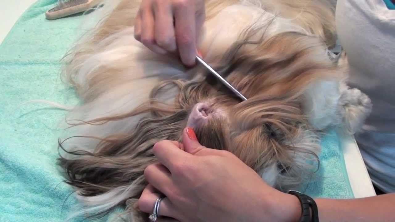 Grooming Series Ear Cleaning Shih tzu grooming, Shih