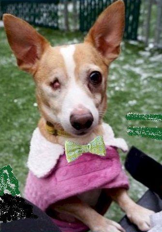 Chihuahua dog for Adoption in East Brunswick, NJ. ADN