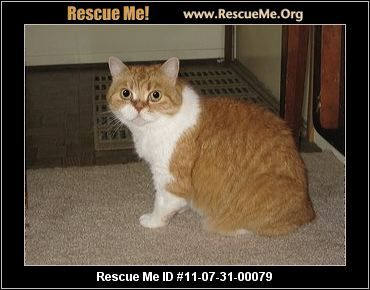 Michigan Scottish Fold Rescue Adoptions Rescueme Org Scottish Fold Kitten Adoption Cat Scottish Fold