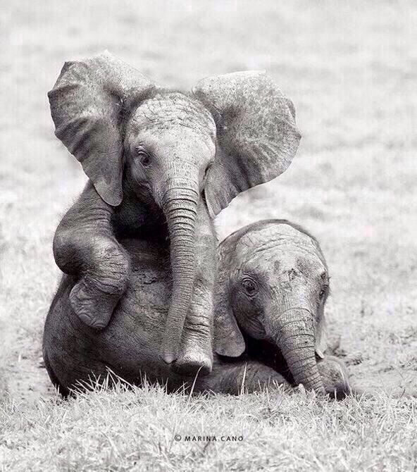 two elephants happily playing #ProtecttheElephants