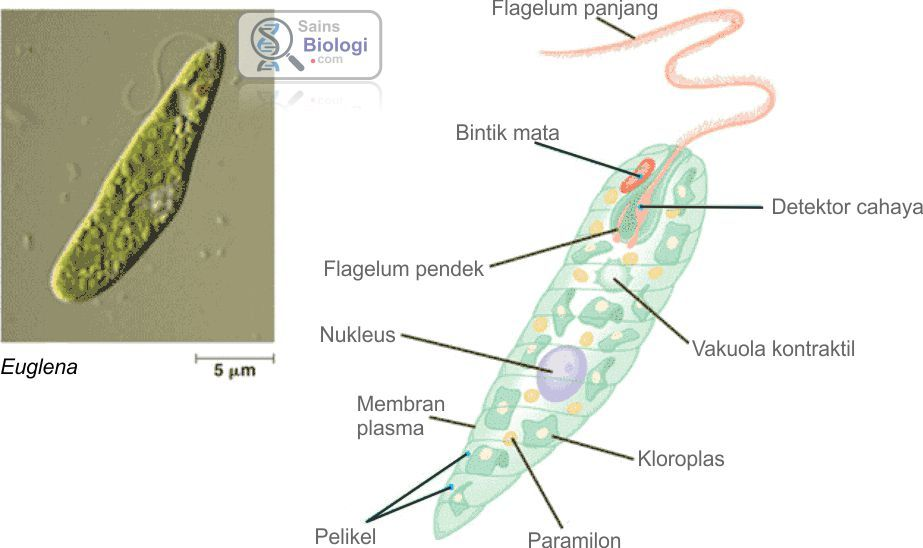 Gambar Struktur Euglena (anggota ganggang) | Biologi SMA Kelas X ...