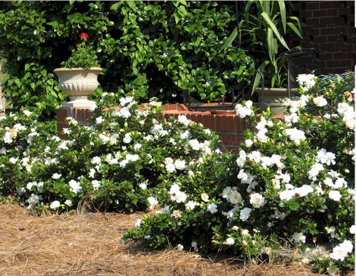 Gardenias Trailing Not Suppose To Grow Over 18 In But Gets To 3 Ft Wide Perfect For Front Row Bushes Along Gardenia Shrub Gardenia Plant Evergreen Shrubs