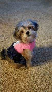 Poodle Toy Yorkshire Terrier Mix Puppy For Sale In Rancho
