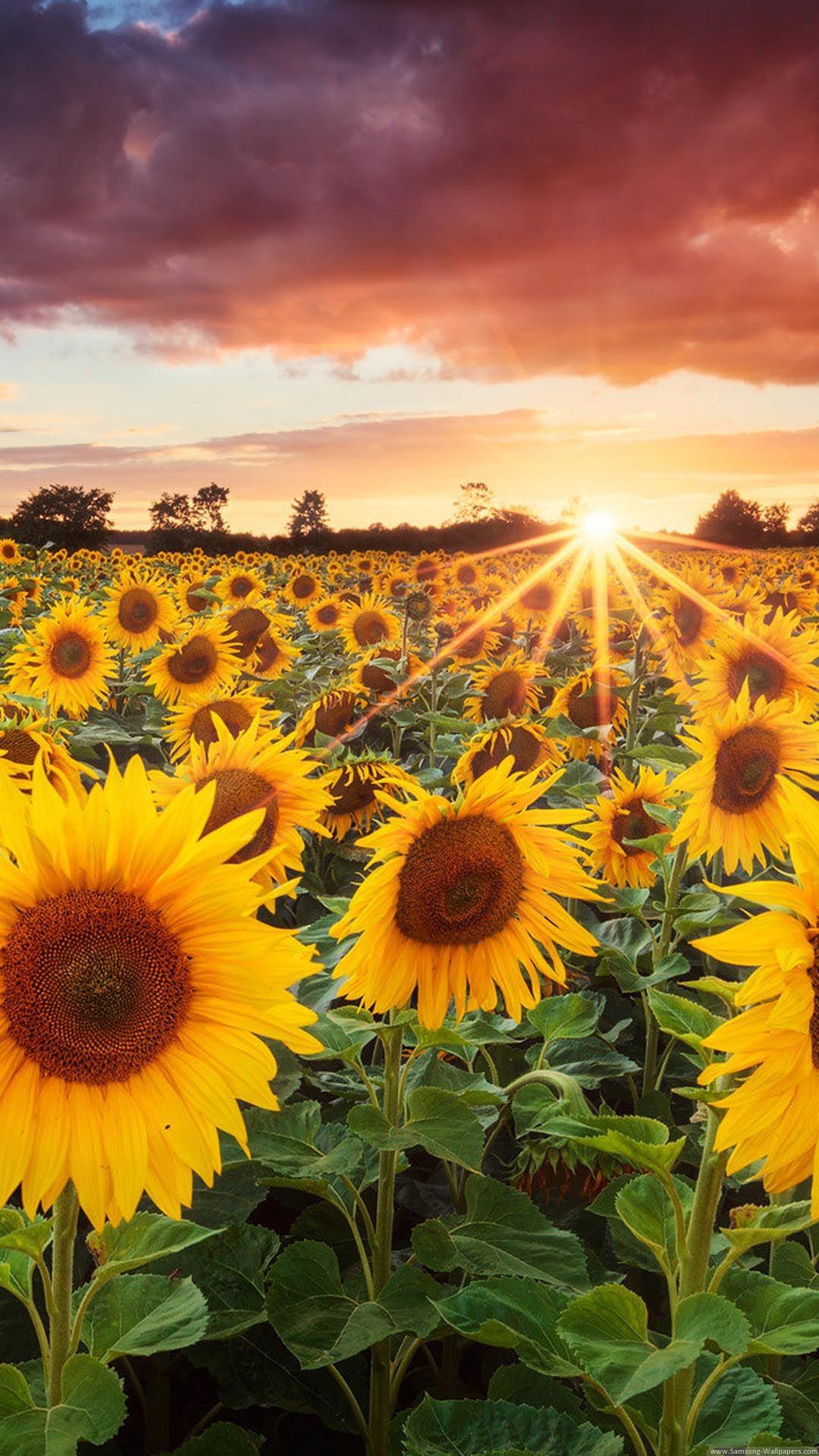 Sunflower Field Sunset Iphone 6 Plus Hd Wallpaper Campo De Girassois Wallpaper Paisagem Lindas Paisagens