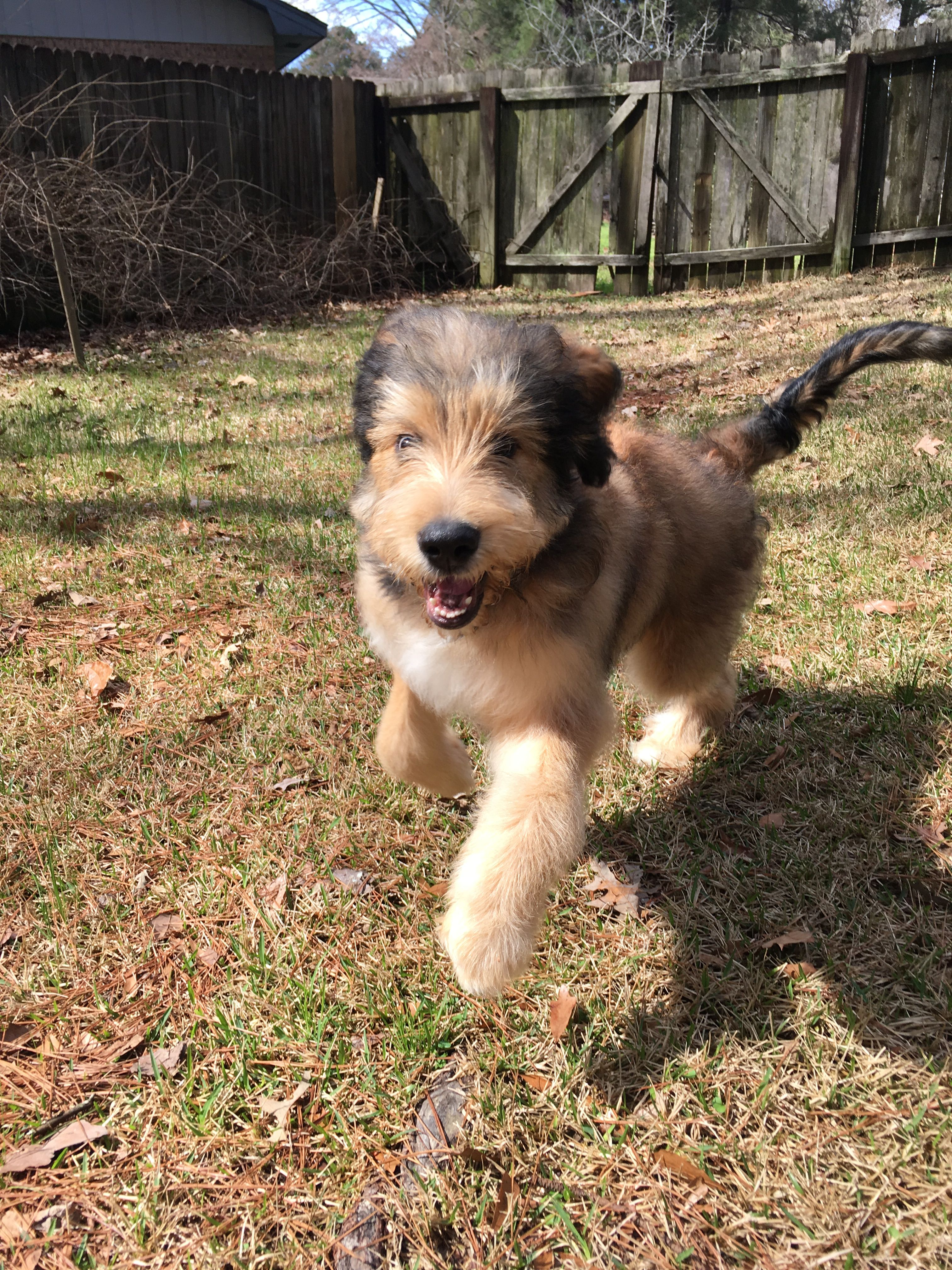 Here Comes 60 Pounds Of Fluff My Bernedoodle Puppy