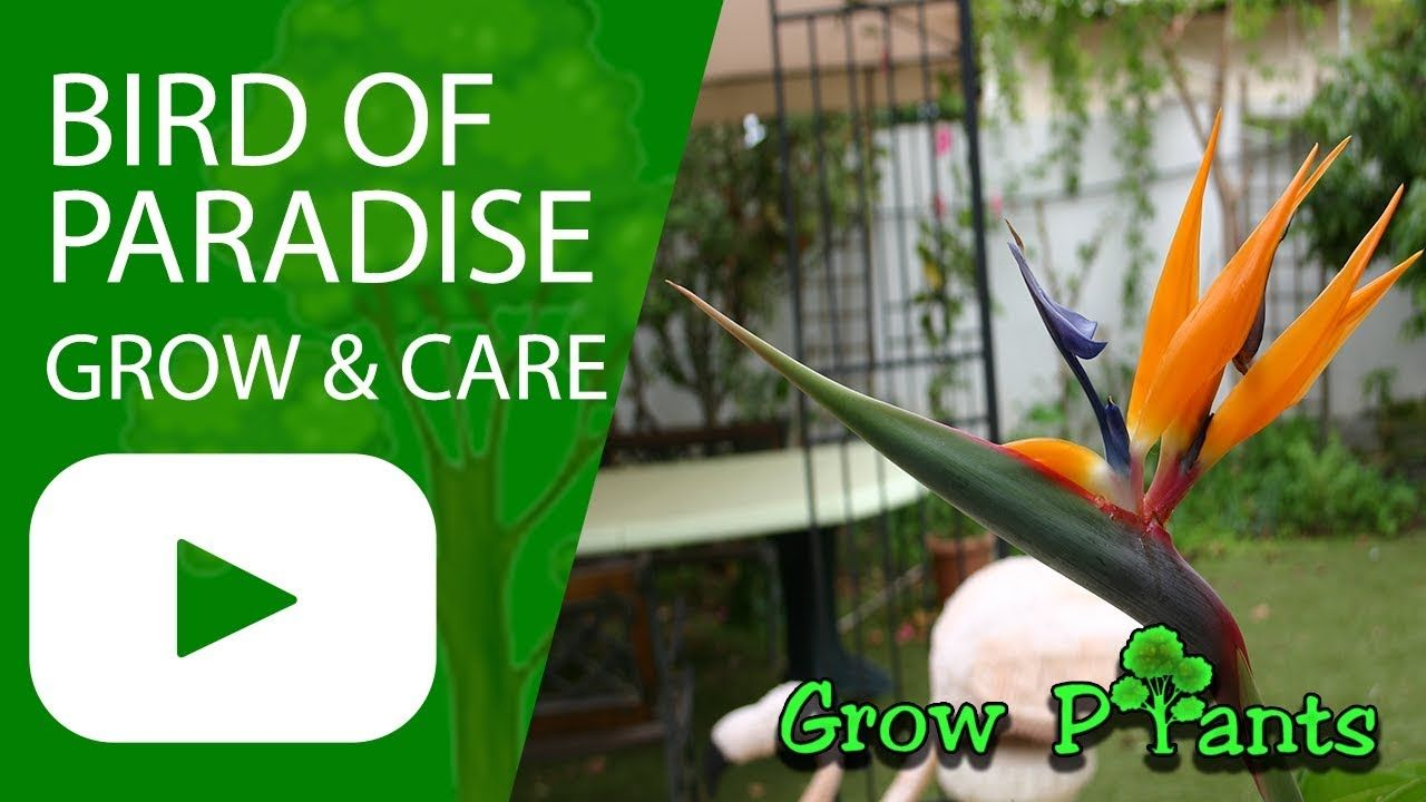 Bird Of Paradise Plant How To Grow Strelitzia Reginae With Images Birds Of Paradise Plant Paradise Plant Birds Of Paradise