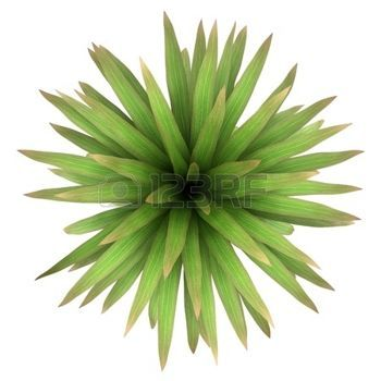 Plants Top View Top View Of Mountain Cabbage Palm Tree Isolated On