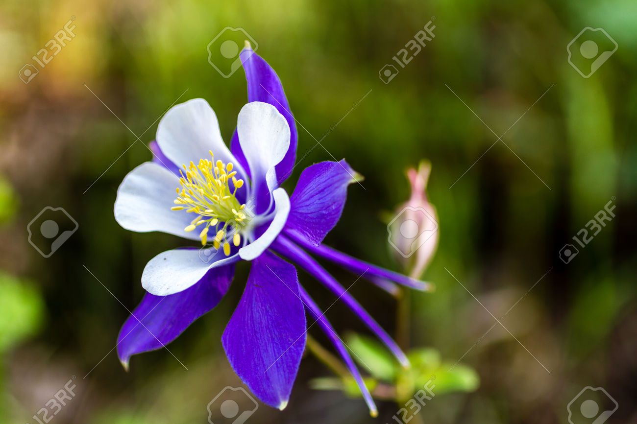 Side View Of Blue Columbine Flower Bloom And Bud On Mountain