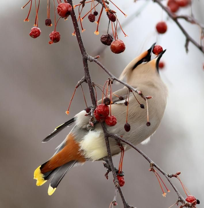 Bohemian Waxwing by Guy Poisson