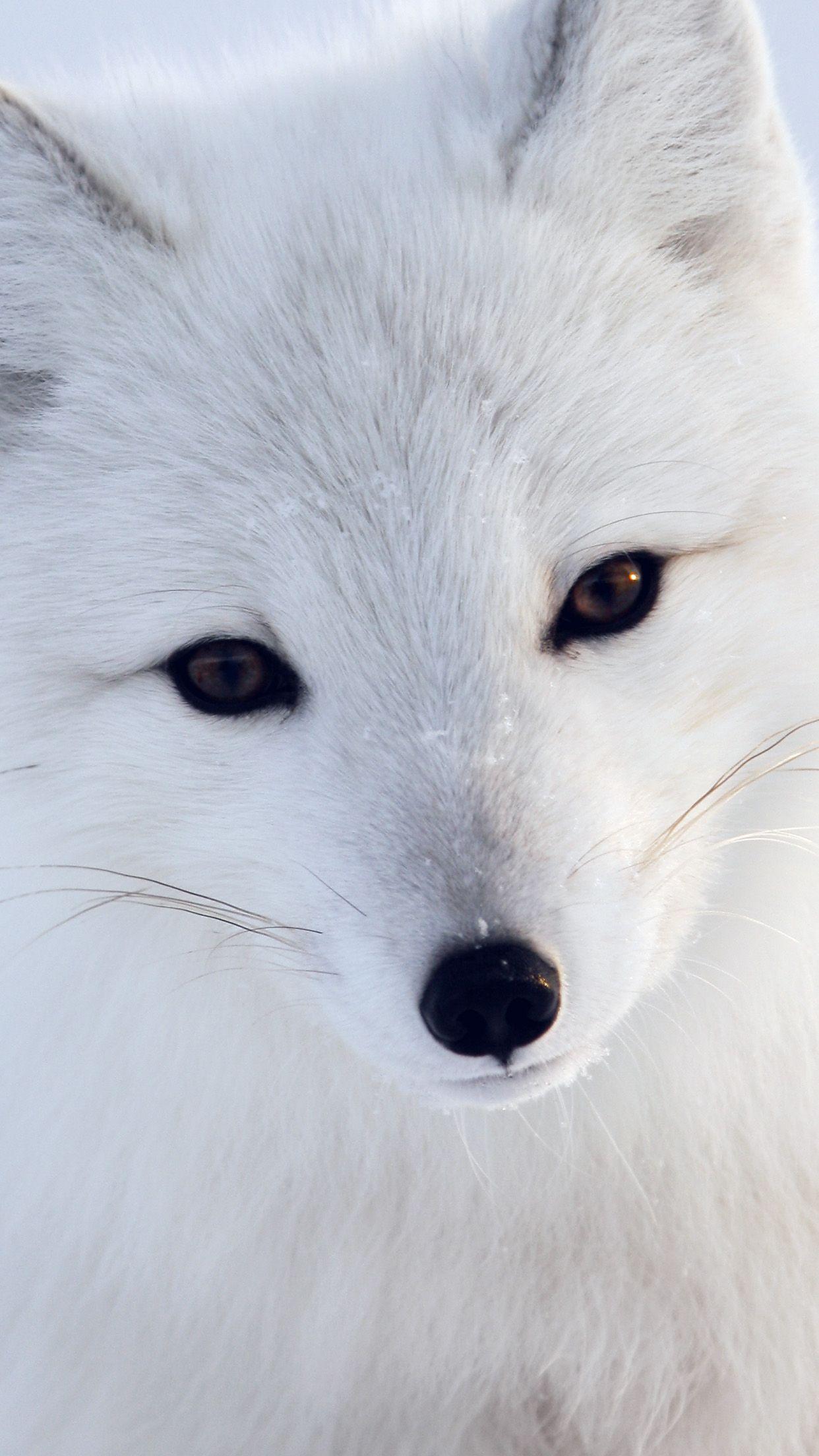 Artic Fox White Animal Cute Animals Animals Animals Wild