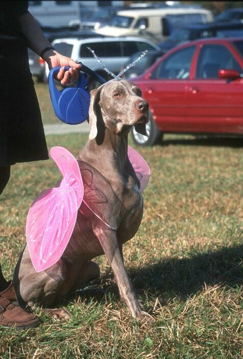 Pin By David Shindo On Dog Weimaraner Dogs Dog Lovers