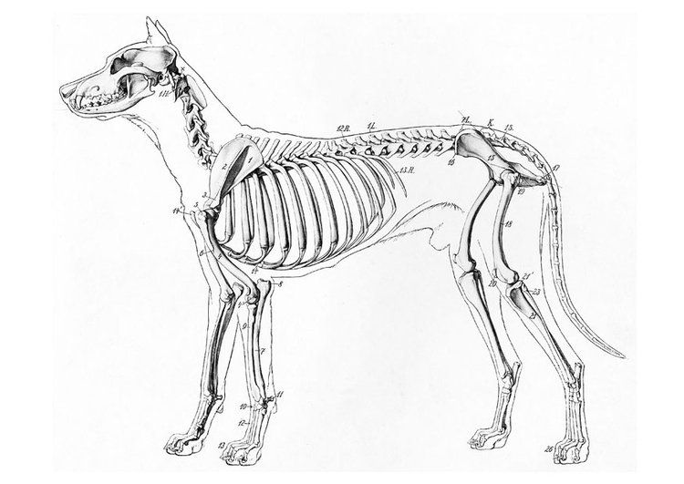 coloring page dog skeleton  dog anatomy dog skeleton