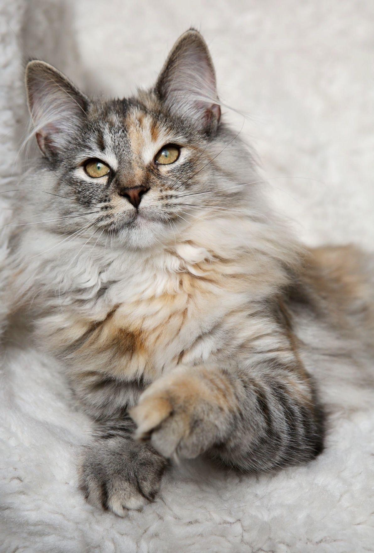 Darling Vom Roten Abendstern 5 Months Old Female Norwegian Forest Kitten A Stunning Black Tortie Silver Tabby Cute Animals