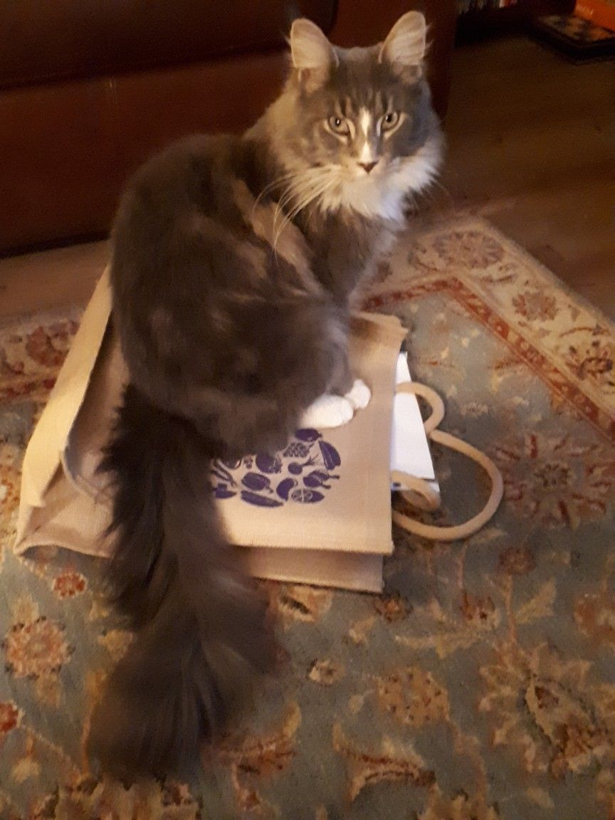 Pin On Maine Coon Magnificence