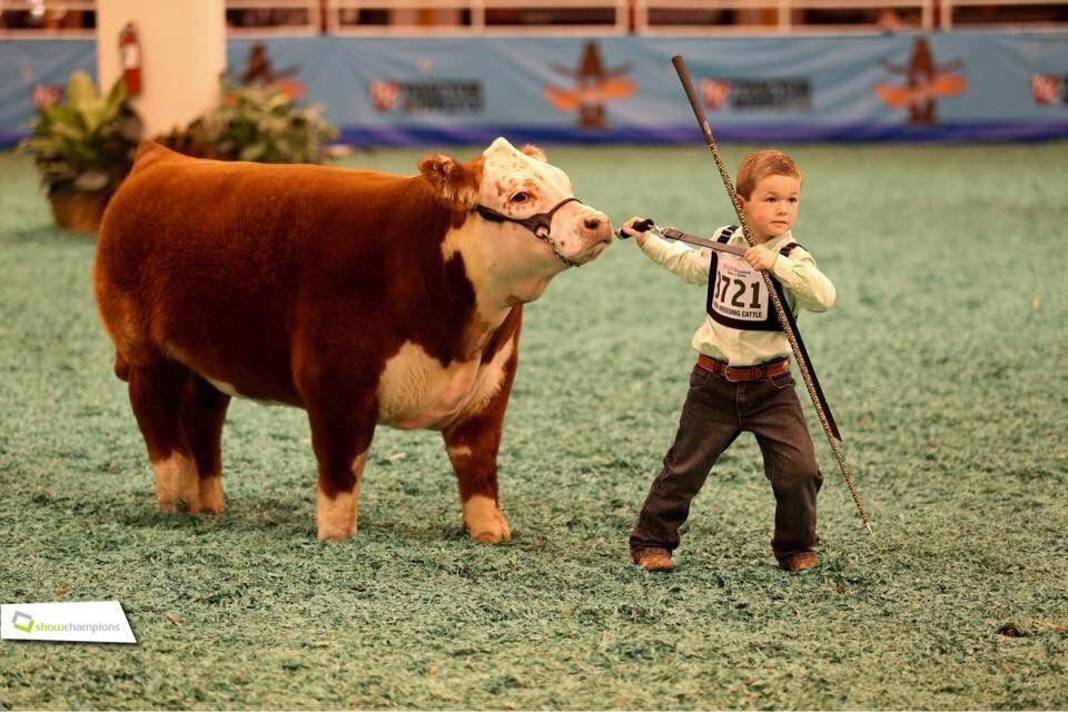 Mini Hereford Show Cows Cute Cows Mini Cows