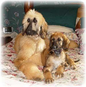 Afghan Hound Afghan Hound Puppies Breeders Hounds Afghan Hound