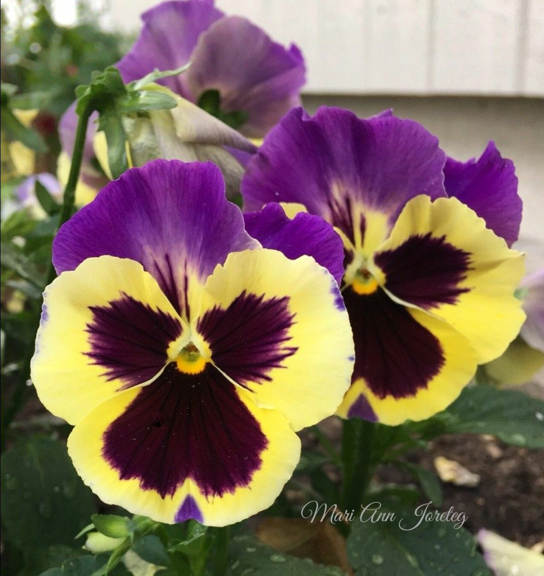 Pin By Umran Oztepe On Zambaklar Pansies Flowers Fancy Flowers Pansies