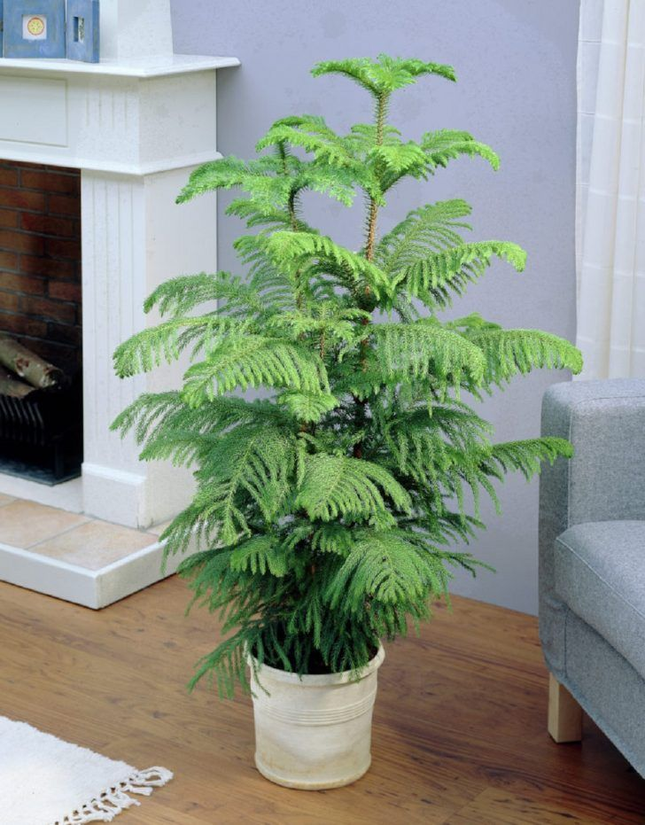 Araucaria room - caring for house needles