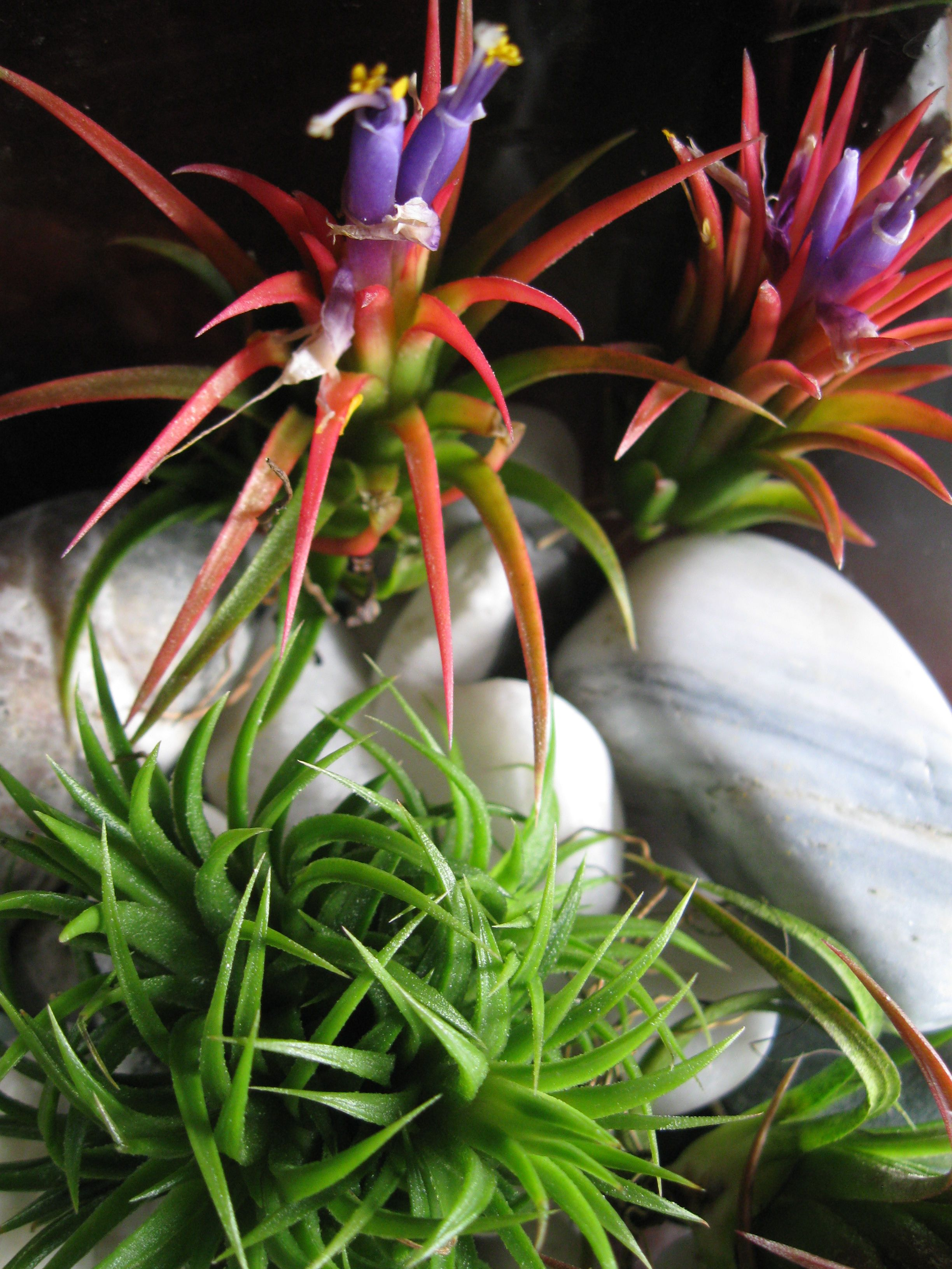 Tillandsia have some amazing colors. Love these little
