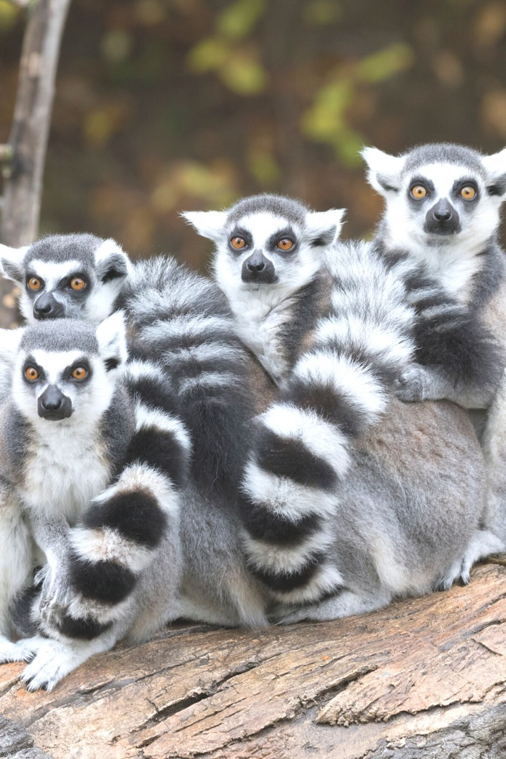 Madagascar Eco-Tour: See Lemurs in the Wild Madagascar Eco-Tour: See Lemurs in the Wild    Experience the best of Madagascar and see lemurs in t #Ecotravel #ecotour #lemurs #madagascar #Wild