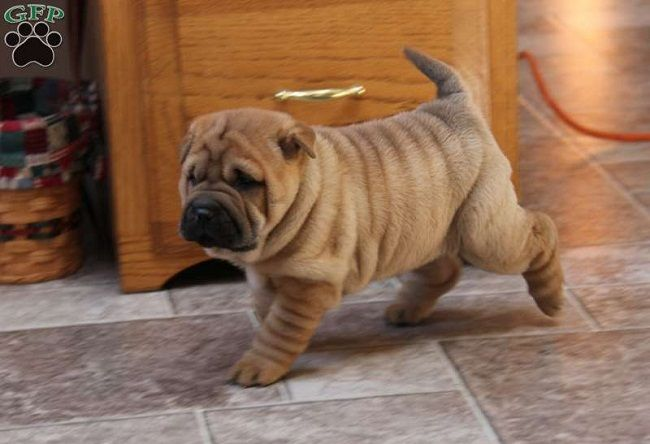 Shar Pei Bulldog Mix Puppies Zoe Fans Blog Shar Pei Puppies