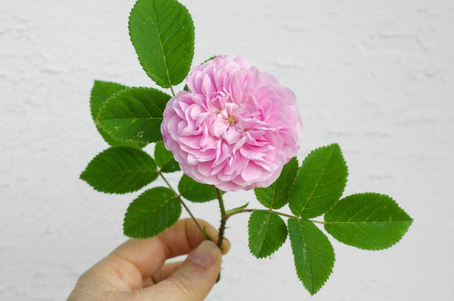 'Petite Lisette' (1817) Alba/Damask Rose