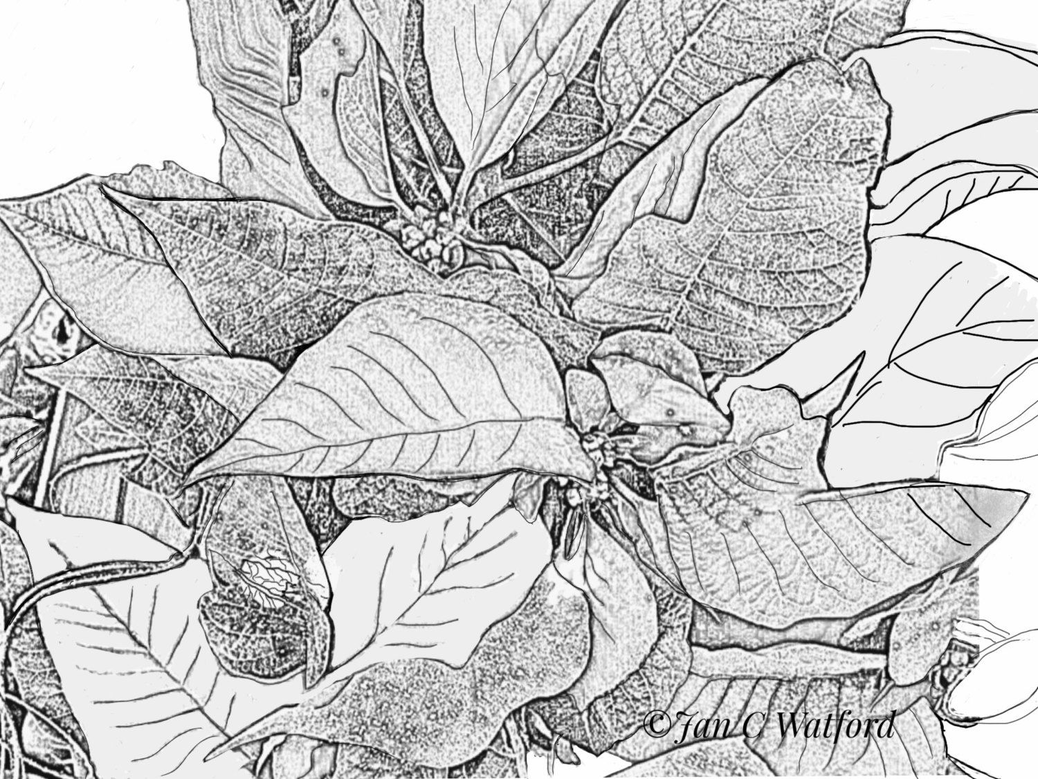 Poinsettias Coloring Page Digital Download by JcwPrism on