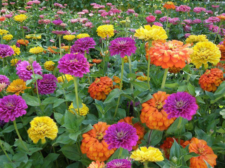 Create A Butterfly Hummingbird Garden Zinnia Flowers Flower Seeds Easy To Grow Flowers
