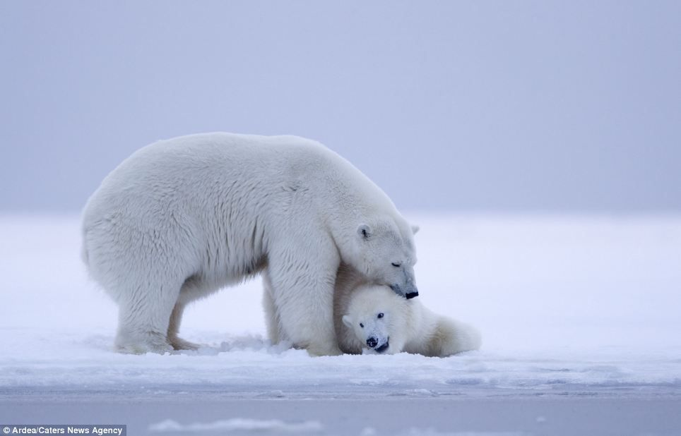 Sunset So Beautiful That Even Polar Bears Had To Sit And Admire It Polar Bear Bear Bear Photos