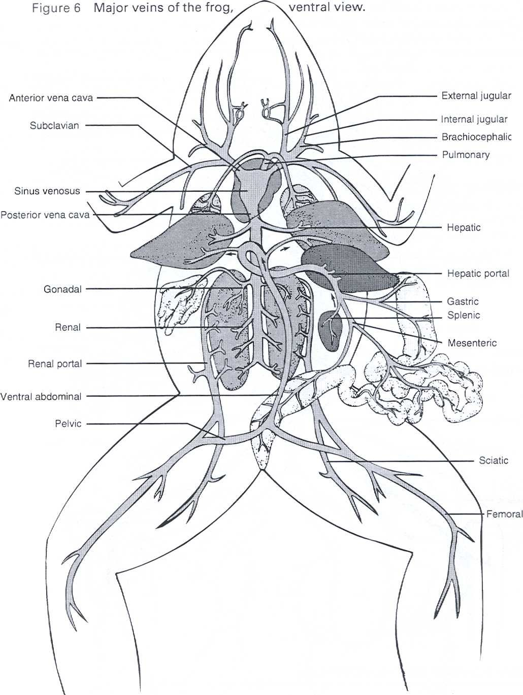 frog anatomy coloring sheets - Google Search : science ...