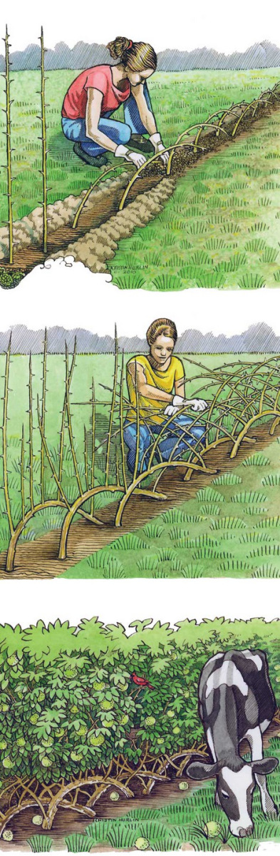 Major living fence applications in the United States have utilized Osage orange trees (Maclura pomifera), also called hedge apple or horse apple. For an incredibly tough, enduring windbreak that's …