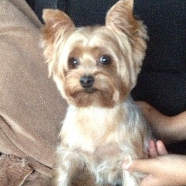 Lost Yorkie, in Conroe TX lost in Pebblebrook Circle by