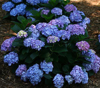 Hydrangea Macrophylla Let S Dance Blue Jangles Hydrangea Shrub Hydrangea Macrophylla Reblooming Hydrangeas