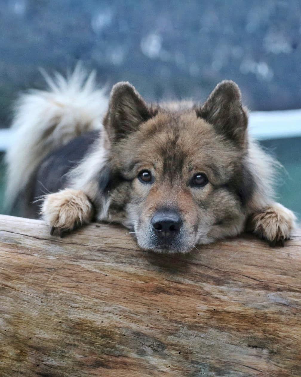 Werbung Gewinnspiel Happy Mountainmonday Still Und Heimlich Haben Wir Uber Das Wochenende Die 17 000 Follower Geknackt Fluffy Dogs Eurasier Dog Breeds