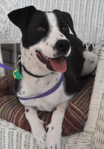 Adopt A Dog Dalmation Pointer Mix Dog Adoption Cute Animals