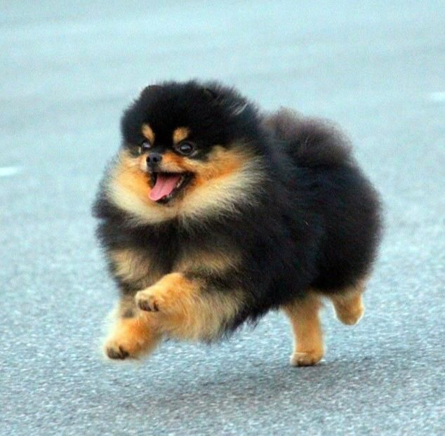 Pun Pom Pets Animals Dogs