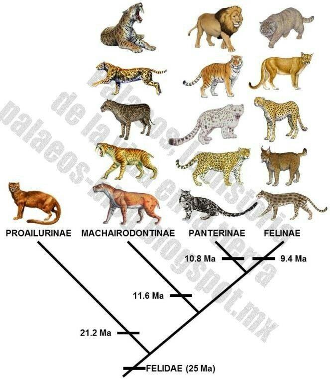 Http Felinosdelmundourjc Blogspot Com Es 2013 03 Origen Y Evolucion De Los Felidos Html M 1 Feline Anatomy Smilodon Felidae