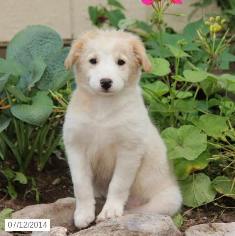 Paws Border Collie Puppy For Sale In Mcclure Pa Collie